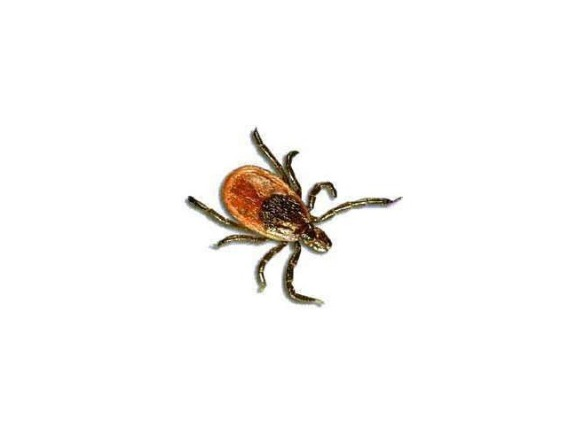 3492564-Tick_Henry_W_Coe_State_Park_Morgan_Hill